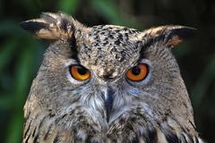 tende owls gufi : Il teatro dellAria - Spettacoli di Falconeria - Castello di Gradara